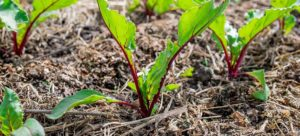 Freshly planted beetroot