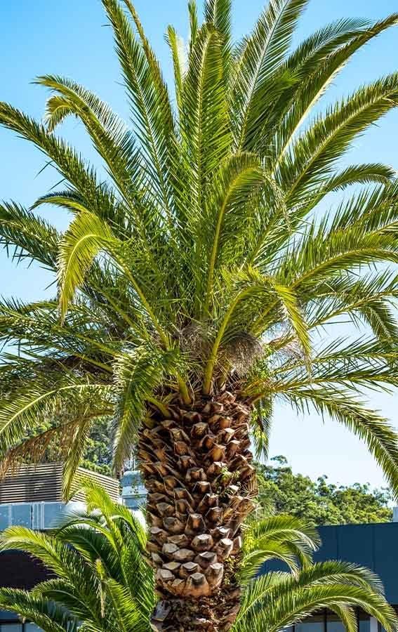 Leagues Club Park Gosford Mature Palms